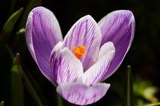Free White-violet Crocus Stock Image - 6680611