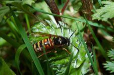 Free Wasp Royalty Free Stock Photos - 6680618