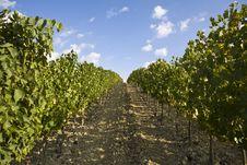 Free Vineyards Royalty Free Stock Image - 6680706