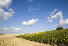 Free Vineyards Stock Images - 6680764