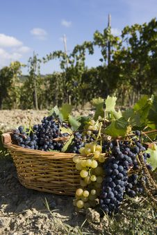 Free Basket Of Grapes Stock Images - 6681054
