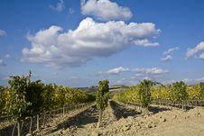 Free Vineyards Royalty Free Stock Photography - 6681057