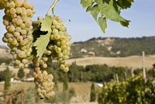 Free Green Grapes Stock Images - 6681224