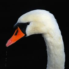Free Close-up Of Swan Drinking Royalty Free Stock Image - 6681256