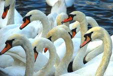 Free Many Swans Gathered Royalty Free Stock Photos - 6681268