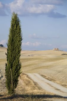 Free Cypress Tree On A Hill Top Royalty Free Stock Photo - 6681465