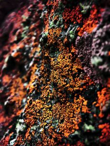 Free Red Lichen Stock Photography - 6681702