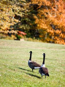 Free Geese Royalty Free Stock Photos - 6682148