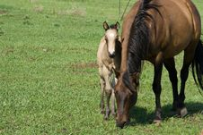 Free Quarter Horse Mare And Foal Stock Image - 6682211