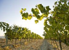 Free Grapesvine Stock Photo - 6682530
