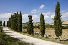 Free Tuscan Landscape, Cypress Royalty Free Stock Photography - 6682597