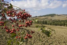 Free Tuscan Landscape, Focus On A Branch Royalty Free Stock Photos - 6682658