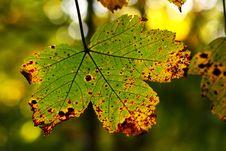 Free Beautiful Autumn Leaf Stock Photos - 6683933