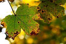 Free Beautiful Autumn Leaf Royalty Free Stock Image - 6683936