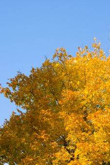 Free Color Maple Leaves Stock Photography - 6685052