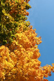 Free Color Maple Leaves Stock Photography - 6685162