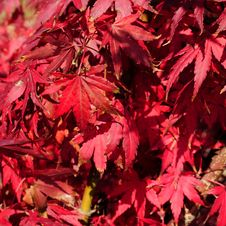 Free Red Leaves Stock Photography - 6685232