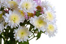 Garden Chrysanthemum Royalty Free Stock Photography