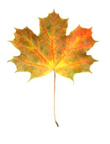 Free Autumn Maple Leaf Royalty Free Stock Images - 6685529