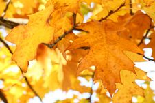 Free Yellow Oak Leaves - Natural Texture Royalty Free Stock Image - 6685536