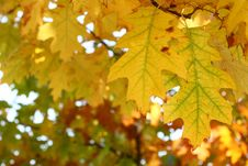 Free Yellow Oak Leaves - Natural Texture Royalty Free Stock Photography - 6685667