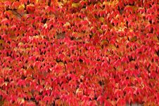 Free Red Leaves Natural Background Stock Photos - 6685803