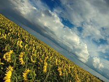 Sunflowers And Sky Royalty Free Stock Photos