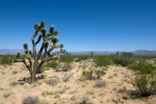 Free Joshua Tree Stock Image - 6685961