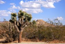 Free Joshua Tree In The Desert Royalty Free Stock Photos - 6686188