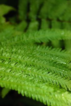 Free Dew On Ferns Stock Photo - 6686390