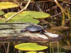 Free Turtle Sunning Royalty Free Stock Image - 6686896
