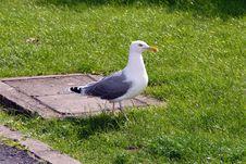 Free Gull Stock Photo - 6687170