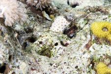 Free Chestnut Blenny (cirripectes Castaneus) Stock Images - 6687194