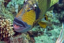 Free Titan Triggerfish ( Balistoides Viridescens) Stock Photos - 6687263
