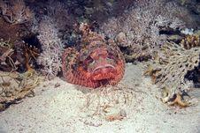 Free Smallscale Scorpionfish (Scorpaenopsis Oxycephala) Stock Photos - 6687283