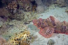 Free Smallscale Scorpionfish (Scorpaenopsis Oxycephala) Stock Images - 6687284