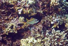 Free Spotfin Squirrelfish (neoniphon Sammara) Stock Image - 6687301