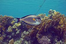 Free Sohal Surgeonfish (Acanthurus Sohal) Stock Image - 6687391