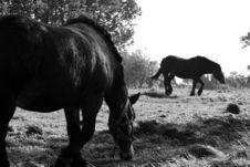 Free B&W. Horses Stock Photography - 6688342