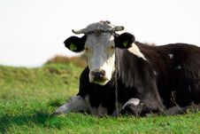 Free Cow Stock Images - 6688424