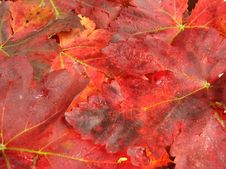 Free Autumn Leaves In Fiery Red Color Royalty Free Stock Images - 6689119