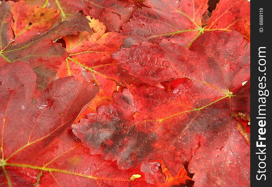 Autumn Leaves In Fiery Red Color