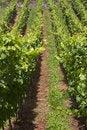 Free Vineyard Royalty Free Stock Image - 6691076