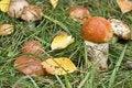 Free Aspen Mushroom Stock Photo - 6695020