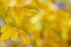 Free Yellow Autumn Leaves Stock Photo - 6690130
