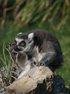 Free A Funny Ring-teiled Lemur Scratching Royalty Free Stock Photography - 6690667
