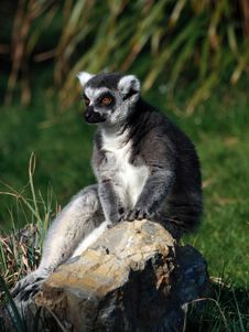 A Ring-tailed Lemur (Lemur Catta) Royalty Free Stock Photos
