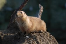 A Black Tailed Prairie Dog (Cynomys Ludovicianus) Royalty Free Stock Images