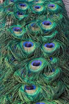 Free Peacock  Tail Close Up Royalty Free Stock Images - 6690679