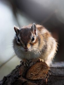 Free The Eastern Chipmunk (Tamias Striatus) On Branch Stock Photography - 6690682
